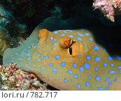 Купить «Сине-пятнистый скат-хвостокол (Taeniura lymma). Подводная съемка», фото № 782717, снято 18 ноября 2008 г. (c) Мельников Дмитрий / Фотобанк Лори