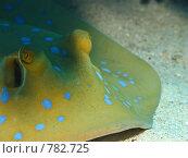 Купить «Сине-пятнистый скат-хвостокол (Taeniura lymma). Подводная съемка», фото № 782725, снято 21 ноября 2008 г. (c) Мельников Дмитрий / Фотобанк Лори