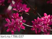 Купить «Красные цветы декоративной яблони», фото № 786037, снято 31 марта 2009 г. (c) Ирина Кожемякина / Фотобанк Лори