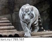 Купить «Белый тигр. Московский зоопарк», эксклюзивное фото № 789161, снято 31 марта 2009 г. (c) Яна Королёва / Фотобанк Лори