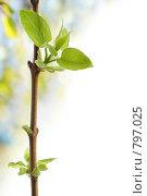 Купить «Весна, листики на ветке распускаются из почек», фото № 797025, снято 31 марта 2009 г. (c) Андрей Рыбачук / Фотобанк Лори