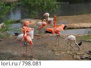 Купить «Розовый фламинго. Московский зоопарк», фото № 798081, снято 11 мая 2008 г. (c) Елена Азарнова / Фотобанк Лори