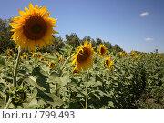 Купить «Подсолнухи на фоне неба», фото № 799493, снято 17 июля 2007 г. (c) Пакалин Сергей / Фотобанк Лори