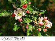 Купить «Цветущая яблоня», фото № 799841, снято 15 сентября 2019 г. (c) ElenArt / Фотобанк Лори