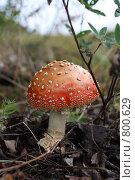 Красный мухомор. Стоковое фото, фотограф евгений блинов / Фотобанк Лори