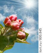 Купить «Цветущая яблоня», фото № 800845, снято 15 сентября 2019 г. (c) ElenArt / Фотобанк Лори