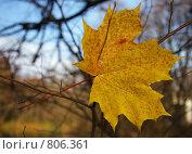 Купить «Осенний лист», фото № 806361, снято 15 августа 2018 г. (c) Евгений Шелковников / Фотобанк Лори