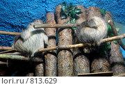 Купить «Ленивцы (московский зоопарк)», фото № 813629, снято 11 мая 2008 г. (c) Елена Азарнова / Фотобанк Лори
