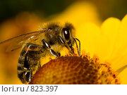 Купить «Пчела на цветке», фото № 823397, снято 16 сентября 2007 г. (c) Алексей Ухов / Фотобанк Лори