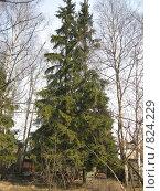 Купить «Ель на садовом участке», фото № 824229, снято 14 апреля 2009 г. (c) Юлия Дашкова / Фотобанк Лори