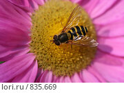 Пчела. Стоковое фото, фотограф Никитин Александр Николаевич / Фотобанк Лори