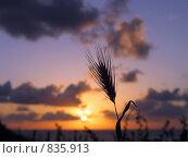 Купить «Колос на фоне заката», фото № 835913, снято 15 апреля 2005 г. (c) Irina Opachevsky / Фотобанк Лори