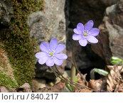 Купить «Фиолетовые цветы с лепестками и тычинками крупным планом на фоне камня. Макро», фото № 840217, снято 2 мая 2004 г. (c) Максим Антипин / Фотобанк Лори