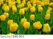 Купить «Желтые тюльпаны», фото № 840901, снято 15 апреля 2009 г. (c) Евгений Дробжев / Фотобанк Лори