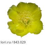 Жёлтый цветок изолировано на белом фоне. Стоковое фото, фотограф Венюков Вячеслав / Фотобанк Лори