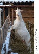 Коза у ограды. Стоковое фото, фотограф Александр Зайцев / Фотобанк Лори