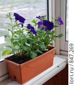 Купить «Фиолетовая петуния», фото № 847269, снято 5 мая 2009 г. (c) E. O. / Фотобанк Лори