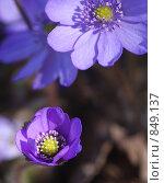 Купить «Печеночница благородная (Hepatica nobilis), фокус на верхнем цветке», фото № 849137, снято 3 мая 2009 г. (c) Наталия Шевченко / Фотобанк Лори
