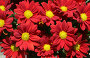 Красные хризантемы, фото № 856865, снято 8 мая 2009 г. (c) Наталья Волкова / Фотобанк Лори