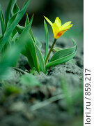 Купить «Тюльпан», фото № 859217, снято 21 февраля 2019 г. (c) Андрей Доронченко / Фотобанк Лори