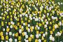 Поле тюльпанов, фото № 861937, снято 13 мая 2009 г. (c) Наталья Волкова / Фотобанк Лори