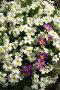 Примула обыкновенная, фото № 871641, снято 9 мая 2009 г. (c) Охотникова Екатерина *Фототуристы* / Фотобанк Лори