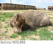 Купить «Верблюжонок», фото № 872693, снято 11 мая 2009 г. (c) Елена Велесова / Фотобанк Лори