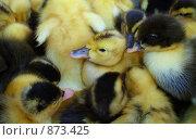 Купить «Суточные утята», фото № 873425, снято 25 апреля 2009 г. (c) Олег Хархан / Фотобанк Лори