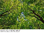 Купить «Взгляд вверх на кроны деревьев», фото № 876957, снято 10 мая 2009 г. (c) Владимир Овчинников / Фотобанк Лори