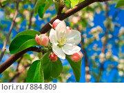 Купить «Цвет яблони», фото № 884809, снято 23 мая 2009 г. (c) Андрей Соловьев / Фотобанк Лори