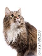 Купить «Пушистый кот смотрит вверх», фото № 885233, снято 9 марта 2009 г. (c) Ирина Карлова / Фотобанк Лори