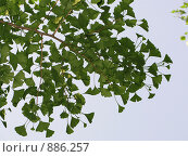 Купить «Листья Гинко Билоба на фоне голубого неба», фото № 886257, снято 25 апреля 2009 г. (c) Александр Солдатенко / Фотобанк Лори