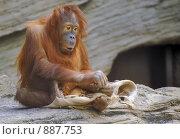 Молодой орангутан с тряпкой. Стоковое фото, фотограф Akunia-Gerrero N.V. / Фотобанк Лори