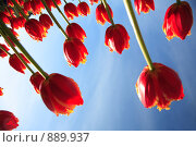 Купить «Атака тюльпанов», фото № 889937, снято 27 мая 2009 г. (c) Юрий Викулин / Фотобанк Лори