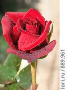 Цветок розы. Стоковое фото, фотограф Сергей Васильев / Фотобанк Лори