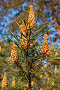 Цветущая веточка сосны, фото № 890249, снято 24 мая 2009 г. (c) Елена Гордеева / Фотобанк Лори