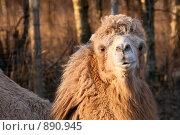 Верблюд. Стоковое фото, фотограф Екатерина Душенина / Фотобанк Лори