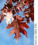 Купить «Осенний красный дуб», фото № 893793, снято 30 сентября 2007 г. (c) Valeriy Novikov / Фотобанк Лори