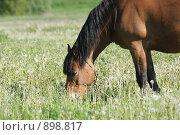 Купить «Лошадь пасется в поле», фото № 898817, снято 1 июня 2009 г. (c) Яна Королёва / Фотобанк Лори