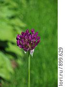 Купить «Декоративный лук - голландский (Allium hollandicum)», эксклюзивное фото № 899629, снято 27 мая 2009 г. (c) lana1501 / Фотобанк Лори