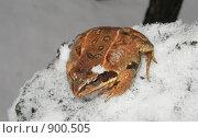 Купить «Жаба на снегу», фото № 900505, снято 14 января 2007 г. (c) Давыдов Артем / Фотобанк Лори