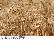 Купить «Спелые колосья пшеницы. Фон», фото № 900909, снято 2 сентября 2008 г. (c) Gagara / Фотобанк Лори