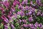 Буйное цветение, фото № 906189, снято 19 мая 2009 г. (c) Наталья Волкова / Фотобанк Лори