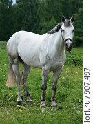 Купить «Белый конь», фото № 907497, снято 6 июня 2009 г. (c) Яна Королёва / Фотобанк Лори