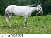 Купить «Белая лошадь стоит в поле», фото № 907501, снято 6 июня 2009 г. (c) Яна Королёва / Фотобанк Лори