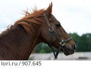 Купить «Портрет лошади», фото № 907645, снято 6 июня 2009 г. (c) Яна Королёва / Фотобанк Лори