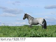 Купить «Лошадь стоит в поле», фото № 920117, снято 14 июня 2009 г. (c) Яна Королёва / Фотобанк Лори