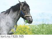 Купить «Лошадь в поле», фото № 920165, снято 14 июня 2009 г. (c) Яна Королёва / Фотобанк Лори