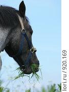 Купить «Лошадь жует траву. Крупный план», фото № 920169, снято 14 июня 2009 г. (c) Яна Королёва / Фотобанк Лори