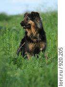 Купить «Собака сидит в поле», эксклюзивное фото № 920205, снято 14 июня 2009 г. (c) Яна Королёва / Фотобанк Лори